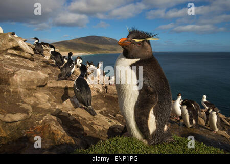 Adult Southern rockhopper penguin Eudyptes chrysocome in the rookery Falkland islands - Stock Photo
