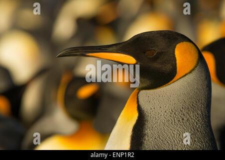 Close-up of adult King penguin, Falkland islands - Stock Photo