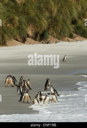 Group of Magellanic penguins on a sandy beach, Falkland islands - Stock Photo