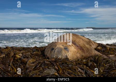 Adult Elephant seal on an ocean coast, Falkland islands - Stock Photo