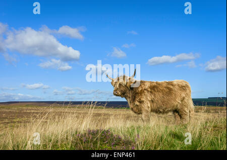 Scottish Highland cattle graze on open pasture in the heart of the North York Moors National Park on a sunny day - Stock Photo