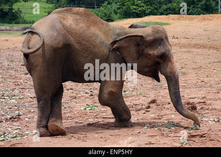 Elephant injured by a land mine, at Pinnewela Elephant Orphanage, Sri Lanka - Stock Photo