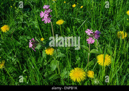red campion and dendelion in an Alpine meadow in spring flower - Stock Photo