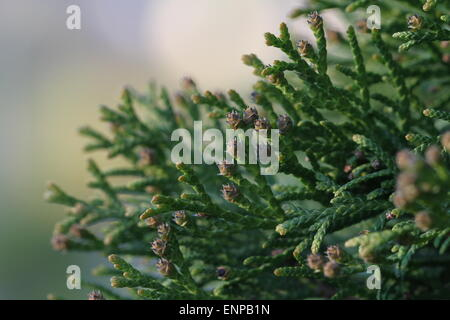 Swelled buds on thuya. Closeup of Thuja twig with soft background - Stock Photo