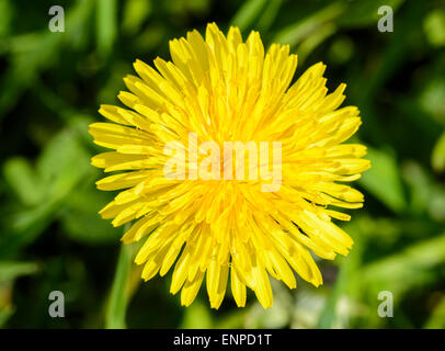 Closeup of a common yellow dandelion plant in early summer. - Stock Photo