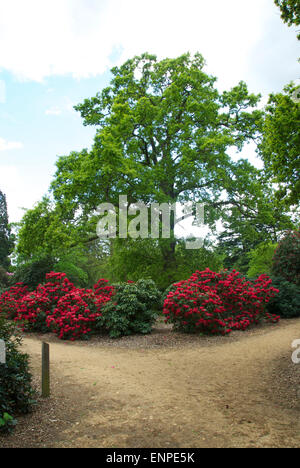 Superb azaleas and rhododendrons at the Langley Country Park, Buckinghamshire - Stock Photo