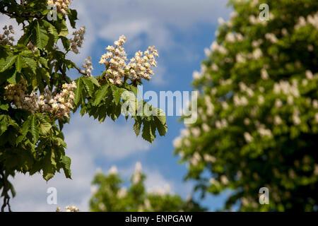 Horse chestnut flower, trees in bloom, Aesculus hippocastanum - Stock Photo