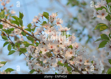 Closeup to a bunch of cherry blossoms on a Sakura tree during the spring - Stock Photo