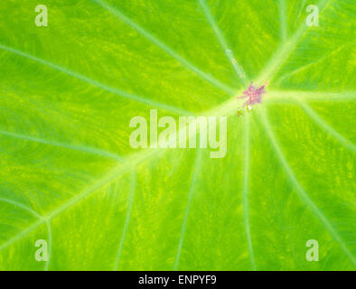 Closeup Green Lotus Leaf with a White Line - Stock Photo