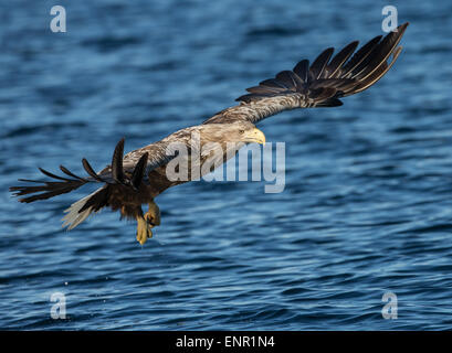 White tailed Eagle (Haliaeetus albicilla) in flight, Norway Stock Photo