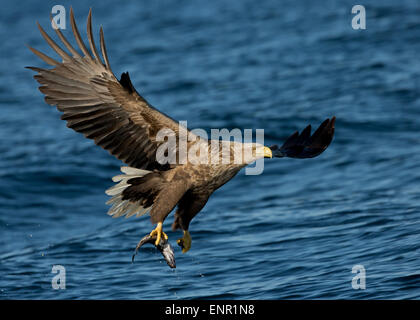 White tailed Eagle (Haliaeetus albicilla) in flight with a coal fish in Norway - Stock Photo