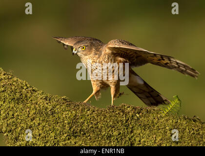 Juvenile Eurasian Sparrowhawk Accipiter nisus perching on a mossy  post in the woods, Scotland - Stock Photo