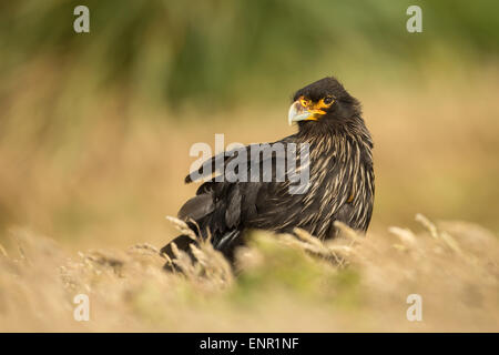 Close-up of Striated caracara Phalcoboenus australis in Falkland islands. - Stock Photo
