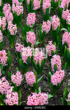 A Flowerbed of pink hyacinths (Hyacinthus orientalis) in an English garden in April 2015. - Stock Photo