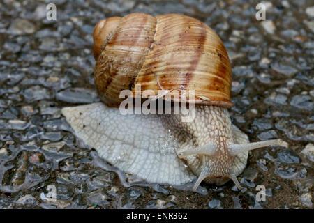 Snail on the asphalt, closeup shot. - Stock Photo