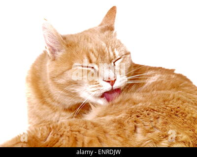 Ginger cat cleaning herself - Stock Photo