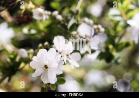 Exochorda macrantha The Bride, Pearl Bush. - Stock Photo