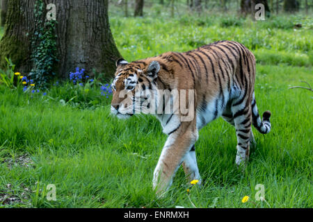 Longleat safari park, Longleat, Wiltshire, UK. 10th May, 2015. Taking a look at some of the most vulnerable to the - Stock Photo