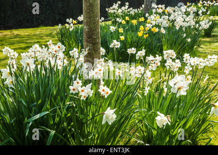Daffodils in the Spring Garden at the Bowood Estate in Wiltshire. - Stock Photo