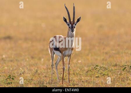 Thomson's gazelle on the savannah - Stock Photo