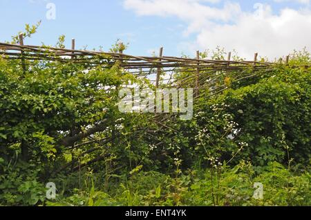 A traditionally laid hedge in Sussex branches are half-cut through and laid diagonally to produce a thick strong - Stock Photo
