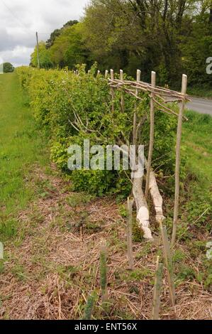 A traditionally laid hedge in Sussex - Stock Photo