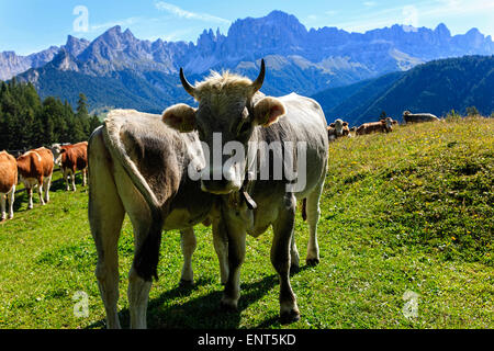 Alpine cows on meadow  in front of the Rose Garden mountain group, Tiers,Tires, Alto Adige, South Tyrol, Italy - Stock Photo