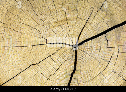 Annal tree growth rings on the end of a cut down tree trunk. - Stock Photo