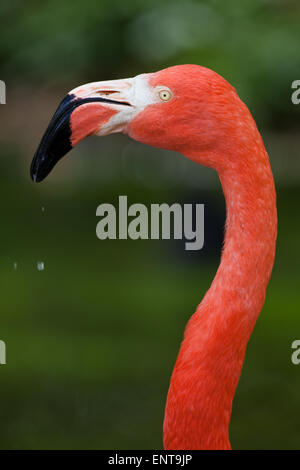 American, or Caribbean or Cuban or Greater Flamingo (Phoenicopterus ruber ruber). Portrait. - Stock Photo
