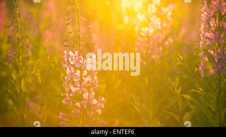 Rosebay Willowherb flowers backlit by sunlight growing wild in a meadow in the Galloway Forest Park, Scotland, UK - Stock Photo