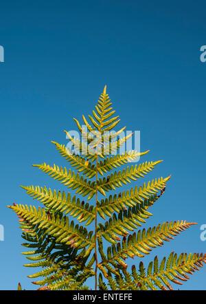 Bracken leaf against a blue sky, UK - Stock Photo