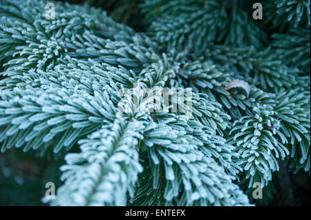 Close-up of a Sitka spruce fir tree branch covered in frost in winter, UK - Stock Photo
