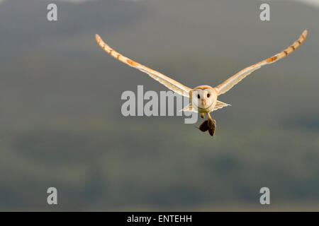Barn Owl (Tyto alba) in flight carrying its prey, Dumfries and Galloway, Scotland, UK - Stock Photo