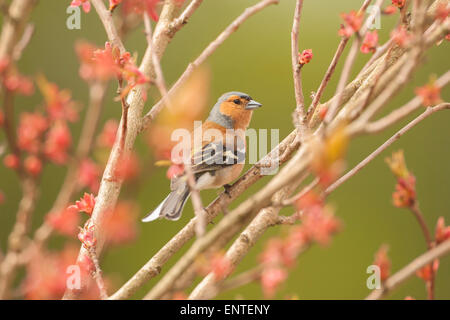 Close up of a Chaffinch (Fringilla coelebs) bird sitting in a cherry tree in the spring season, UK - Stock Photo