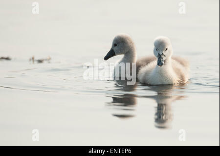 Two young Mute Swan cygnets (Cygnus olor), UK - Stock Photo
