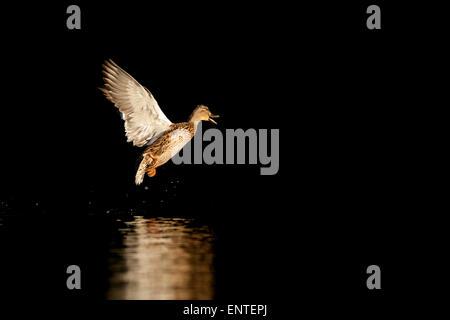 Mallard duck (Anas Platyrhynchos) flying, UK - Stock Photo
