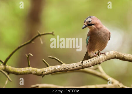 Jay (Garrulus glandarius) sits on a branch in the woods, England, UK - Stock Photo