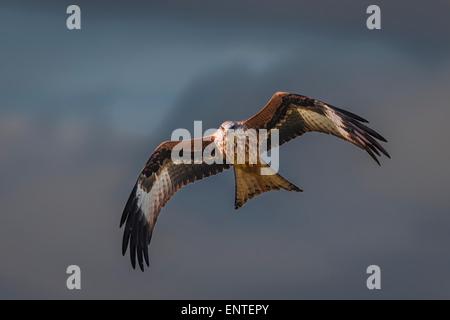 Red Kite (Milvus milvus), Dumfries and Galloway, Scotland, UK - bird flying, raptor, falcon, hawk - Stock Photo