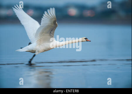 Mute Swan (Cygnus olor) taking off, UK - Stock Photo