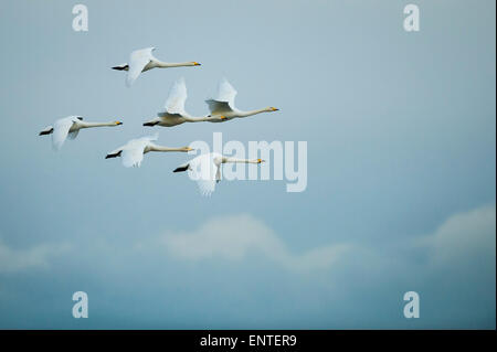 Six Whooper Swans (Cygnus cygnus) in flight, Ayrshire, Scotland, UK. - Stock Photo