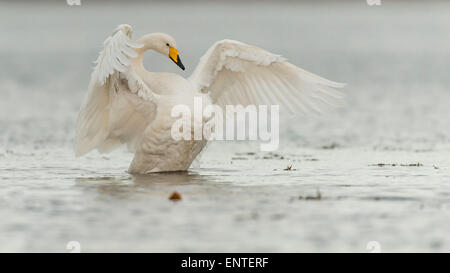 Whooper Swan (Cygnus Cygnus) flapping its wings, UK - Stock Photo