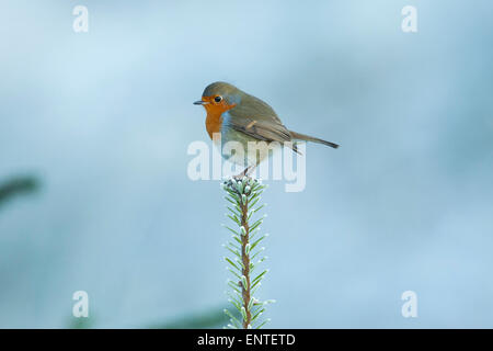 Portrait of a Robin (Erithacus rubecula) sits on the top branch of a Sitka Christmas Tree, UK in winter - Stock Photo