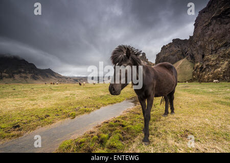 Horse Iceland - Icelandic horse in the Iceland landscape - Stock Photo