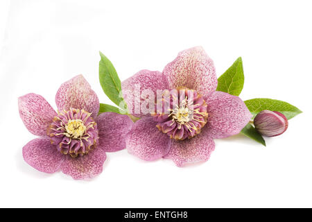 Hellebore flowers with bud isolated on white - Stock Photo