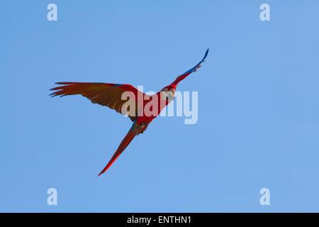 Scarlet Macaw (Ara macao). Single bird in flight.
