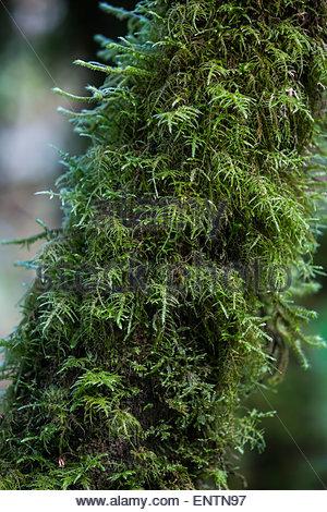 Green moss growing on a tree in Guatemala. - Stock Photo