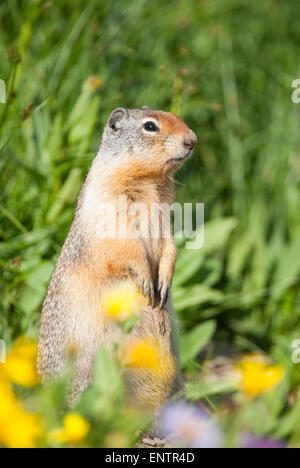 Columbian Ground Squirrel (Urocitellus columbianus),  Glacier National Park, Montana - Stock Photo