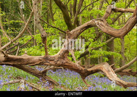 A dead toppled mature sweet chestnut tree with its decaying twisted branches and trunk contrasts with the gentle - Stock Photo