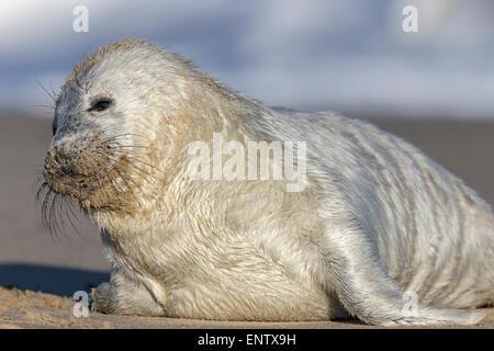 Atlantic Grey Seal pup - Halichoerus grypus - Stock Photo