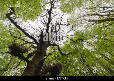 Thick well established tree canopy in protected ancient mature deciduous forest looking up skyward to moody sky - Stock Photo